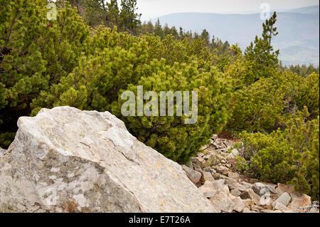 Pinus Mugo und Boulder an Strecke in Babia Gora Nationalpark - Stockfoto