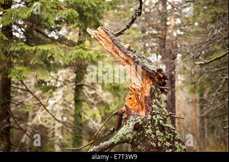 Verrottete Stamm brach im Nationalpark Babia Góra - Stockfoto