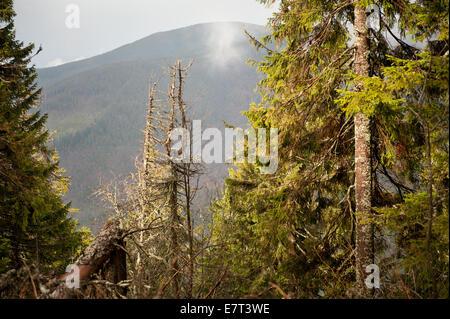 Verrottete alte Tannen brach im Nationalpark Babia Góra - Stockfoto