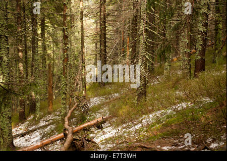 Babia Góra Nationalpark alte Moos Wald - Stockfoto