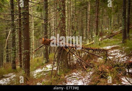 Moos-Urwald im Nationalpark Babia Góra - Stockfoto