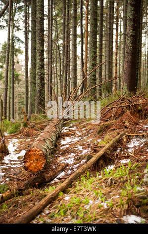 Alten eingestürzten Baum im Nationalpark Babia Góra - Stockfoto