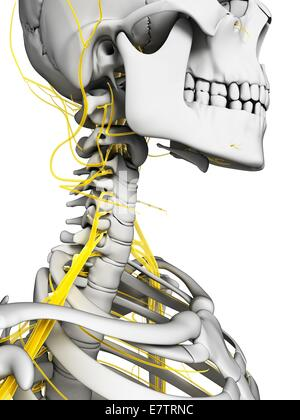 Menschlichen Nervensystem, Computer-Grafik. - Stockfoto