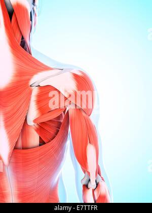 Menschliche Muskulatur der Schulter, Computer-Grafik Stockfoto, Bild ...