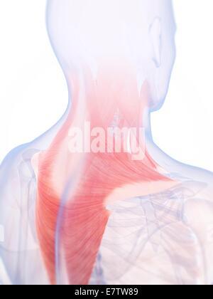 Menschen zurück und Nackenmuskulatur (Trapezius), Illustration ...
