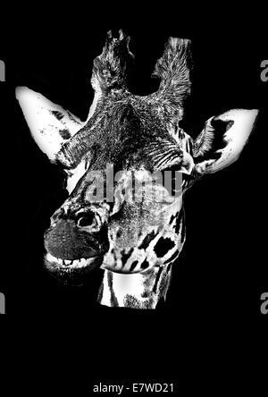 Giraffe Kopf isoliert, Monochrom auf schwarzem Hintergrund - Stockfoto