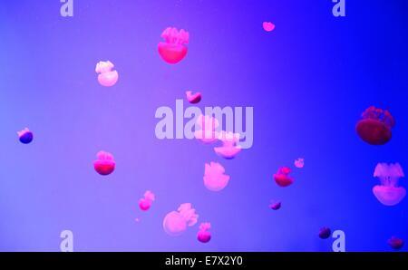 Farbe rosa Qualle im Aquarium schwimmen.