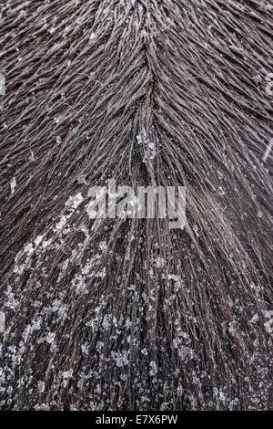 Islandpferd in einem Schneesturm, Island - Stockfoto