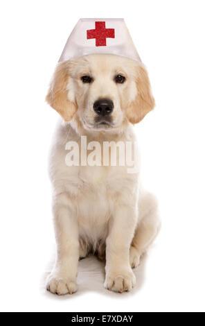 Golden Retriever Hund tragen einen Krankenschwester Hut Ausschnitt - Stockfoto