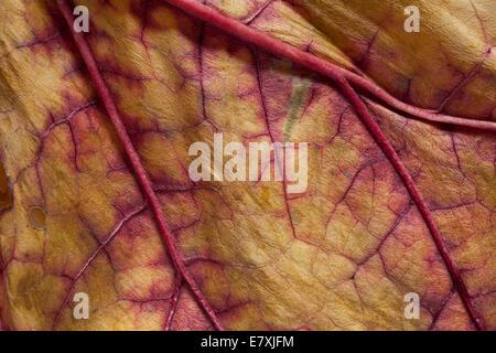 Eine Trocknung Rhabarber Blatt zeigt erhöhte rote Adern im Spätsommer Garten. - Stockfoto