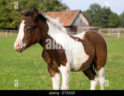 niedliche Junge Shetland-Pony Fohlen - Stockfoto