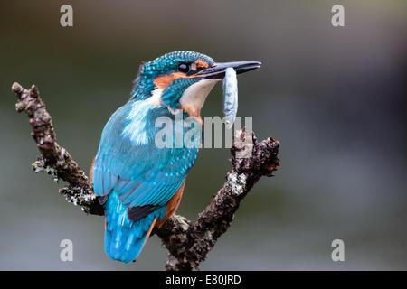 Eisvogel (Alcedo Atthis). Thront Angeln. Vereinigtes Königreich - Stockfoto