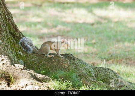 Amerikanisches Rotes Eichhörnchen (Tamiasciurus Hudsonicus) mit Eichel im Mund - USA - Stockfoto