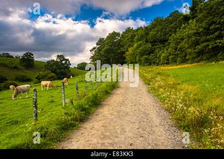 Kühe in einem Bauernhof-Feld auf einem Wanderweg im Moses Kegel Park auf der Blue Ridge Parkway in North Carolina. - Stockfoto