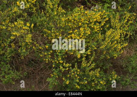Ein Besen-wie Strauch, Cytisus Villosus blüht im Frühjahr; Pilion-Halbinsel, Griechenland. - Stockfoto