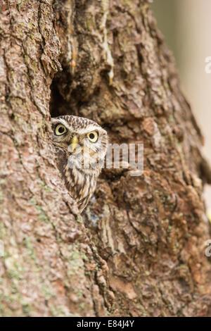 Steinkauz (Athene Noctua) aus einem Nest Loch in einem Baumstamm peering - Stockfoto