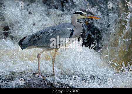 graureiher ardea cinerea an einem wasserfall deutschland stockfoto bild 76025766 alamy. Black Bedroom Furniture Sets. Home Design Ideas