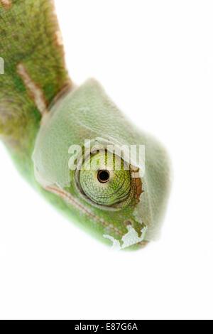 Baby-Chamäleon, konzentrierte sich auf Augen - Stockfoto