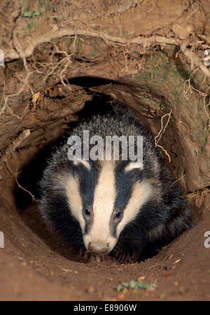 Badger - Meles meles - Stockfoto