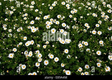 Daisy Blume im Feld - Stockfoto