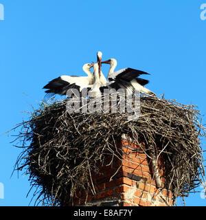 Storch betreut Kinder im großen Nest auf blauen Himmelshintergrund - Stockfoto