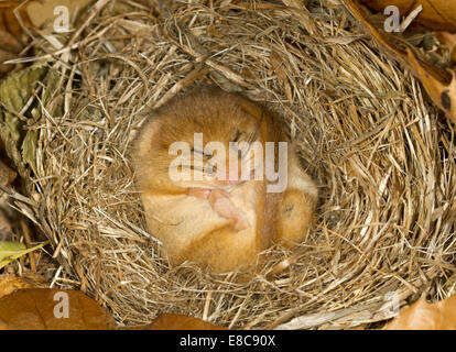 Hazel Dormouse - Muscardinus avellanarius - Stockfoto
