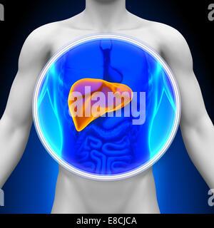 Medizinische Röntgen-Scan - Leber Anatomie - Stockfoto