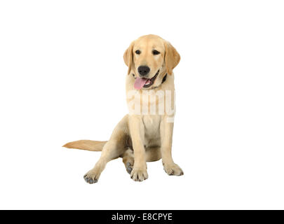 Gelber Labrador Retriever Welpe Cur, isoliert auf weißem Hintergrund - Stockfoto