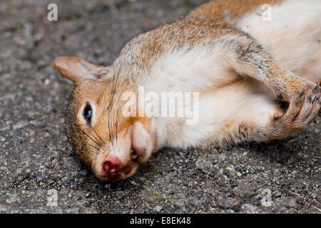 Roadkill Amerikanisches Rotes Eichhörnchen (Tamiasciurus Hudsonicus) - USA - Stockfoto