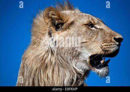 Porträt eines jungen Löwen, Südafrika - Stockfoto