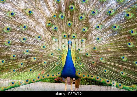 Peacock Gefieder anzeigen - Stockfoto