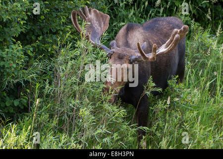Erwachsene männliche Elche ernähren sich von grünen Pflanzen, die von einer erhöhten Plattform betrachtet - Stockfoto