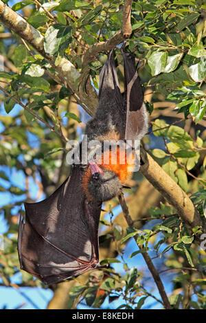 Grey leitete Flying Fox, Pteropus Poliocephalus mit Flügel und offenem Mund. - Stockfoto