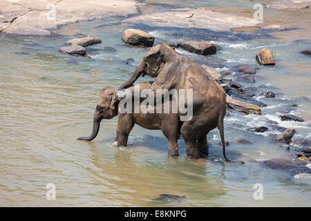 Weibliche Elefanten Stoßzähne