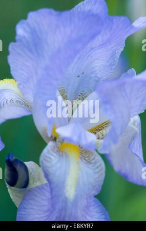 Reine blaue Iris Blume. Iris ist eine Gattung von 260 bis 300 Arten von blühenden Pflanzen mit auffälligen Blüten. - Stockfoto