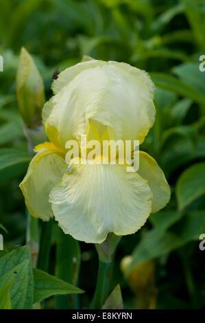 Gelbe Iris Blume. Iris ist eine Gattung von 260 bis 300 Arten von blühenden Pflanzen mit auffälligen Blüten. Es - Stockfoto