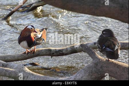 Eine männliche und weibliche Mandarin paar bereiten Sie sich auf den Fluss Severn Schlafplatz.  Mandarinenten (Aix Galericulata) Bewdley, Worcestershir Stockfoto