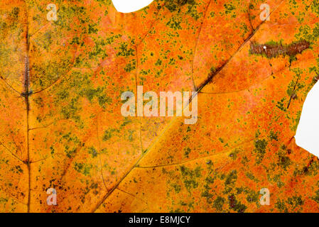 Makro von einem Baum Ahornblatt mit Herbstfarben - Stockfoto