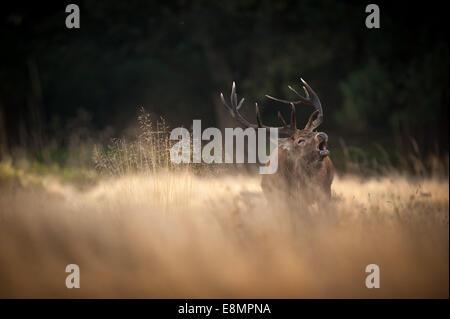 Richmond Park, London, UK. 11. Oktober 2014. UK-Wetter ist ideal für Spurrinnen, brüllen und jagen Weibchen. Die - Stockfoto