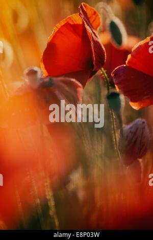 Eine einzelne Mohnblume in eines der Mohnfelder in der Nähe von Blackstone, Bewdley herauszupicken. - Stockfoto