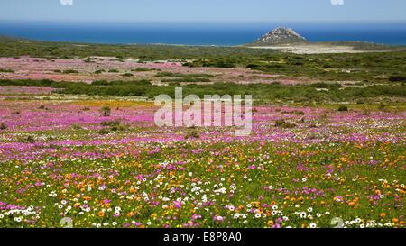 Afrika s dafrika western cape wildblumen stockfoto bild for Wildparks in der nahe