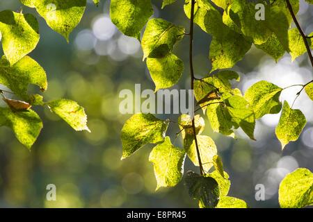 Linde lässt [Tilia X europaea] im Herbst - Hintergrundbeleuchtung Nahaufnahme Stockfoto