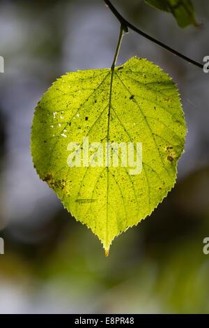 Lindenblatt im Herbst - Hintergrundbeleuchtung Nahaufnahme - Stockfoto