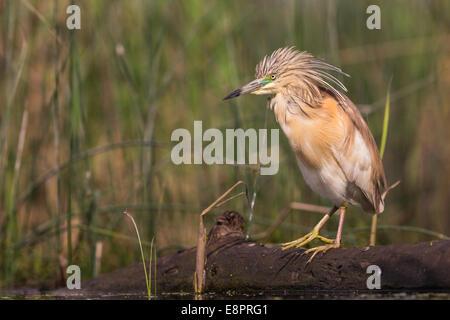 Squacco Heron (Ardeola Ralloides) stehend auf einem teilweise untergetauchten Protokoll - Stockfoto