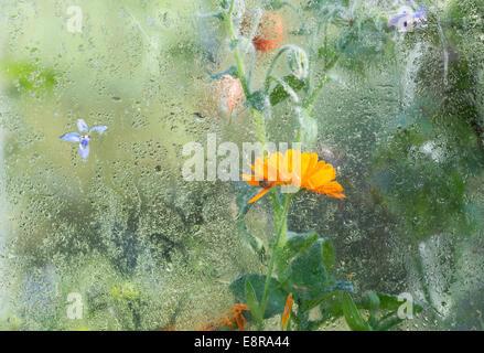 Calendula Officinalis. Ringelblumeblume in einem Gewächshaus mit Kondensation - Stockfoto