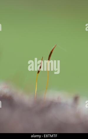 Zwei Samenkapseln der gemeinsamen Wand Schraube-Moos an einer Wand in Box Hill, Surrey - Stockfoto