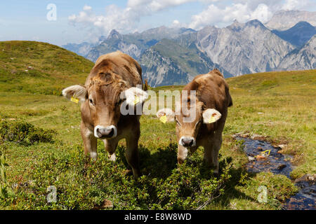 Kühe grasen auf einer Almwiese, Sonnenkopf Berg, Eisentaler Gruppe Berge, Verwall Mountains, Lechquellengebirge - Stockfoto