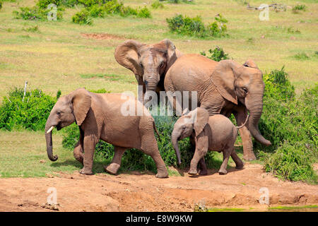 Afrikanische Elefanten (Loxodonta Africana), Gruppe mit jungen, Addo Elephant National Park, Eastern Cape, Südafrika - Stockfoto