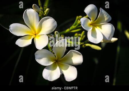 Schönen weißen Blüten Plumeria (Frangipani) auf schwarzem ...