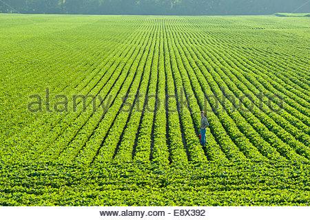 Ein Porträt eines Bauern zu Fuß durch eine große grüne Soja-Feld in central Iowa im Sommer. - Stockfoto